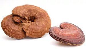 Reishi Pilz kaufen